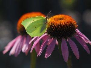 Taradell - Les papallones al Parc de les Olors
