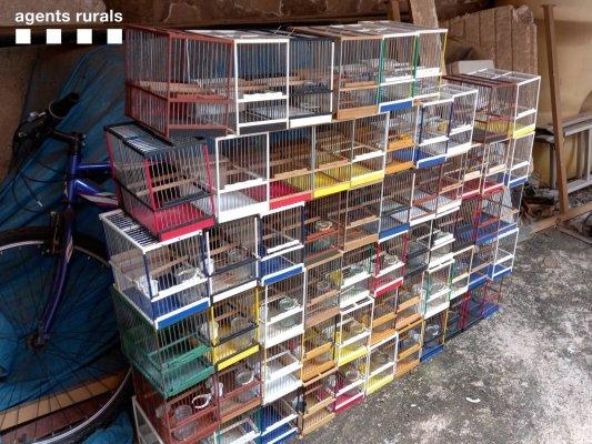 VÍDEO. Desmantellen un punt de venda il·legal d'ocells fringíl·lids a Taradell