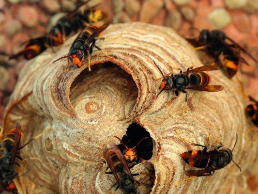 Actuació per controlar la presència de vespa asiàtica